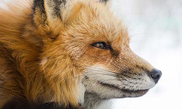 Fox Management