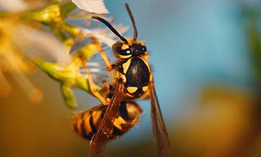 Exterminating Wasps in the Carolinas and Virginia