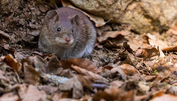 Mice and Rat Removal