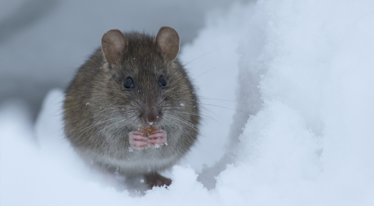Winter mice