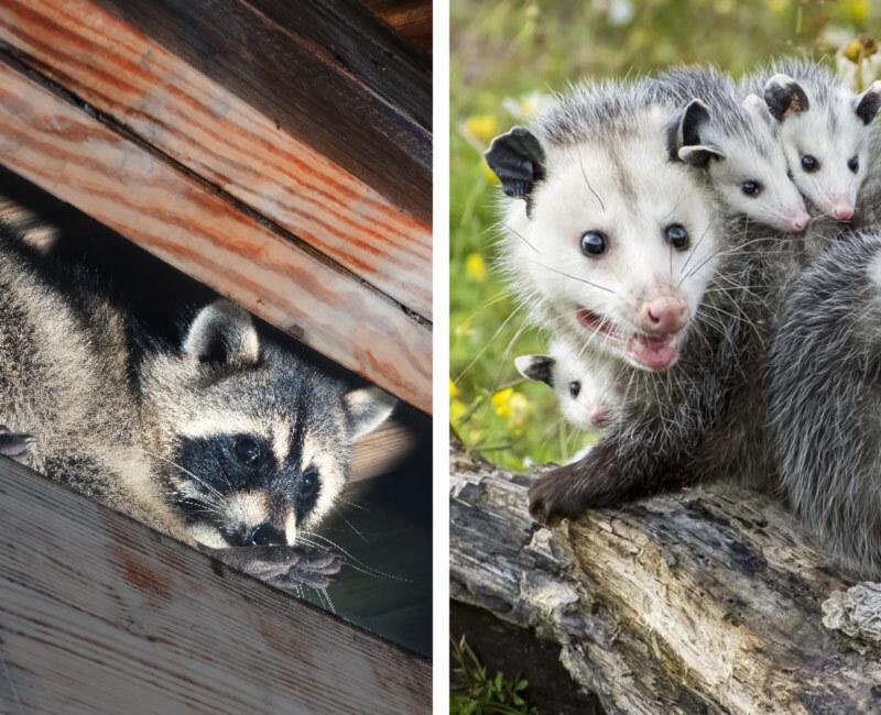 raccoons opossums