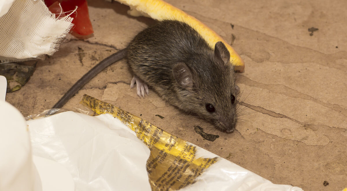 rodents hibernate in home