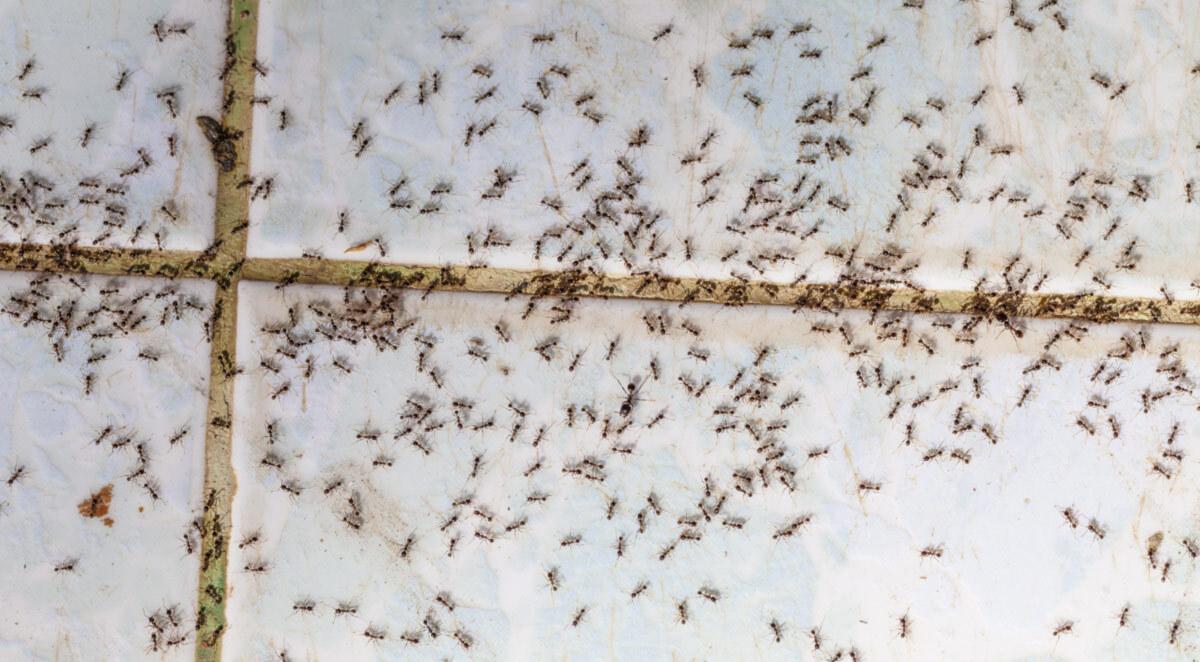 sugar and pharaoh ants