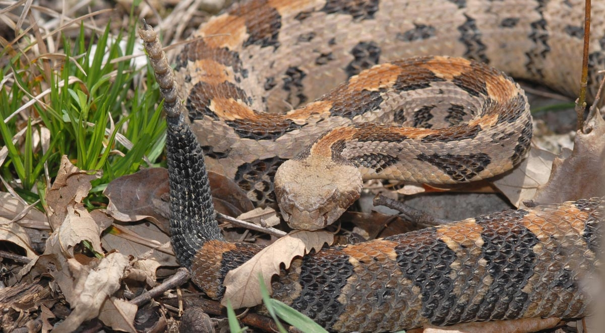 How to Identify Venomous Snakes in North Carolina