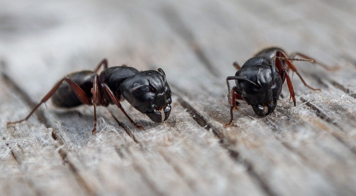 Here Come the Carpenter Ants