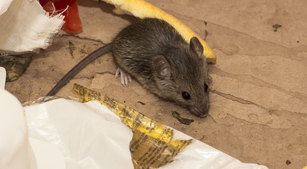 Do Rodents Hibernate In Your Home?