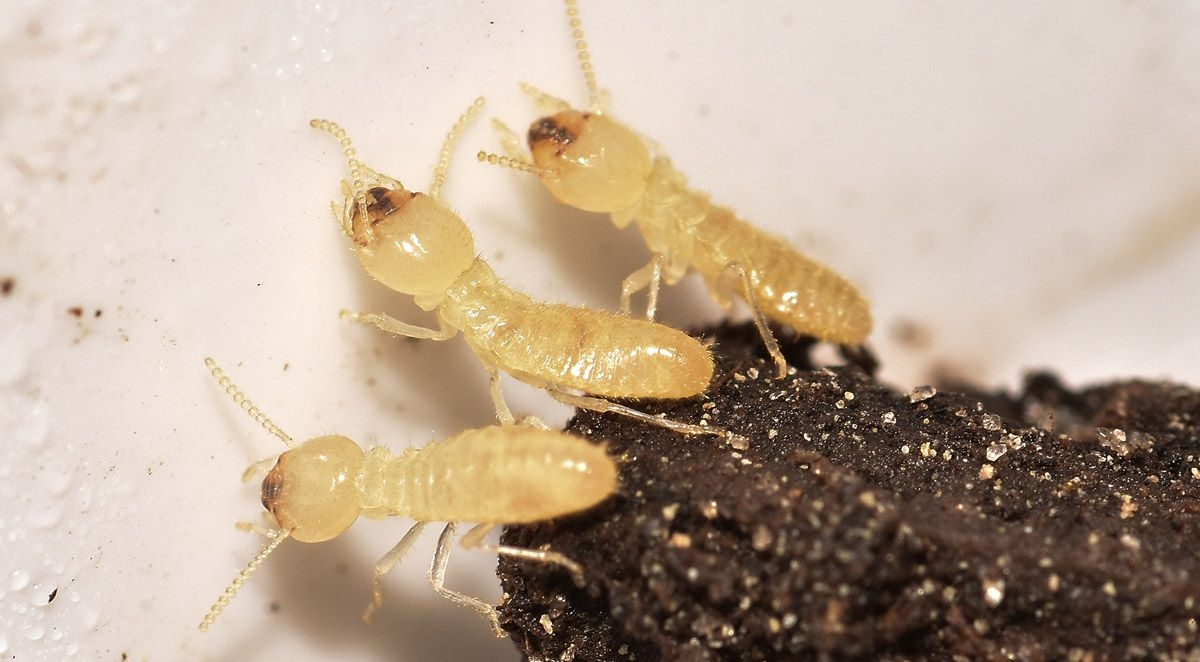 Identifying Termites vs. Other Pests
