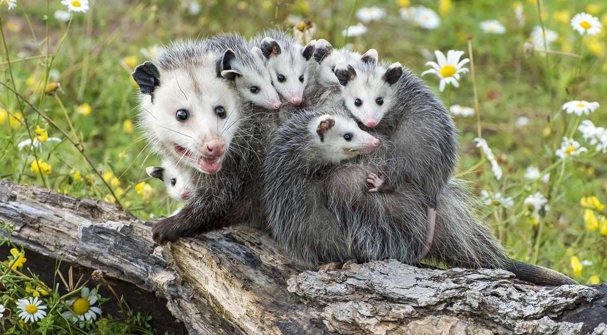 What You Need to Know about Baby Opossums