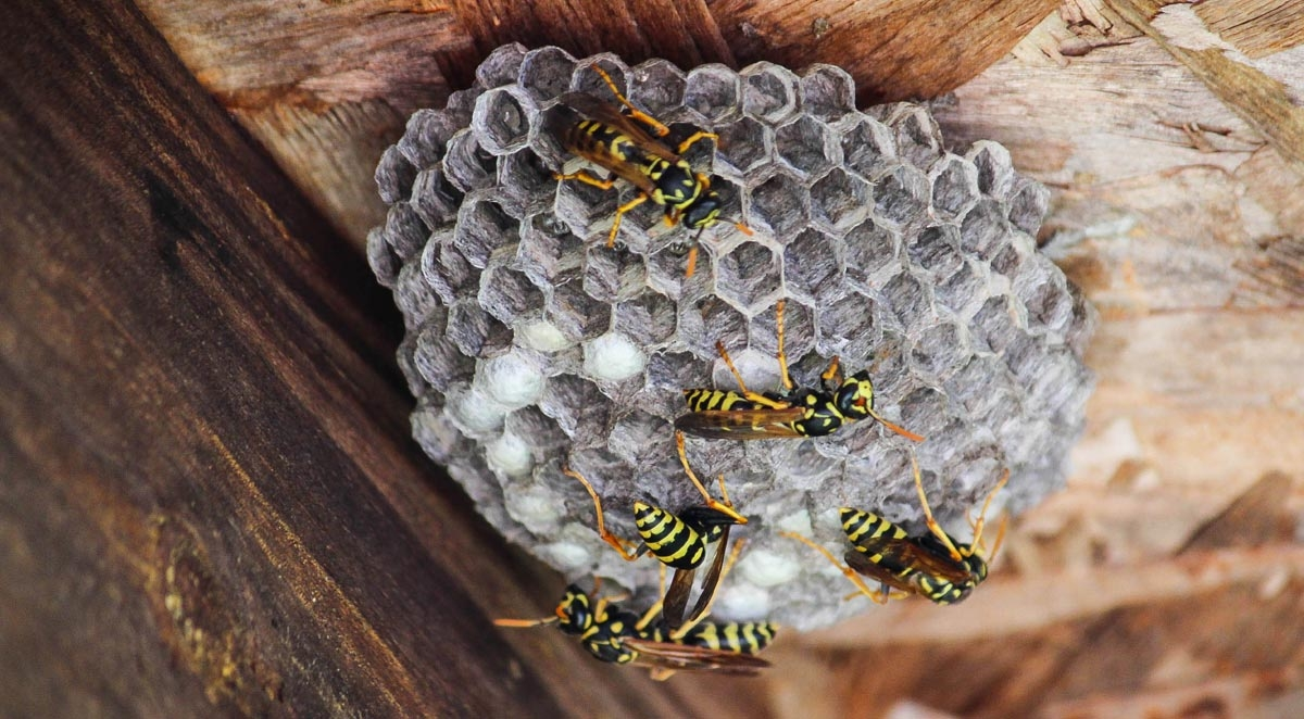 What To Do When You See a Wasp Nest